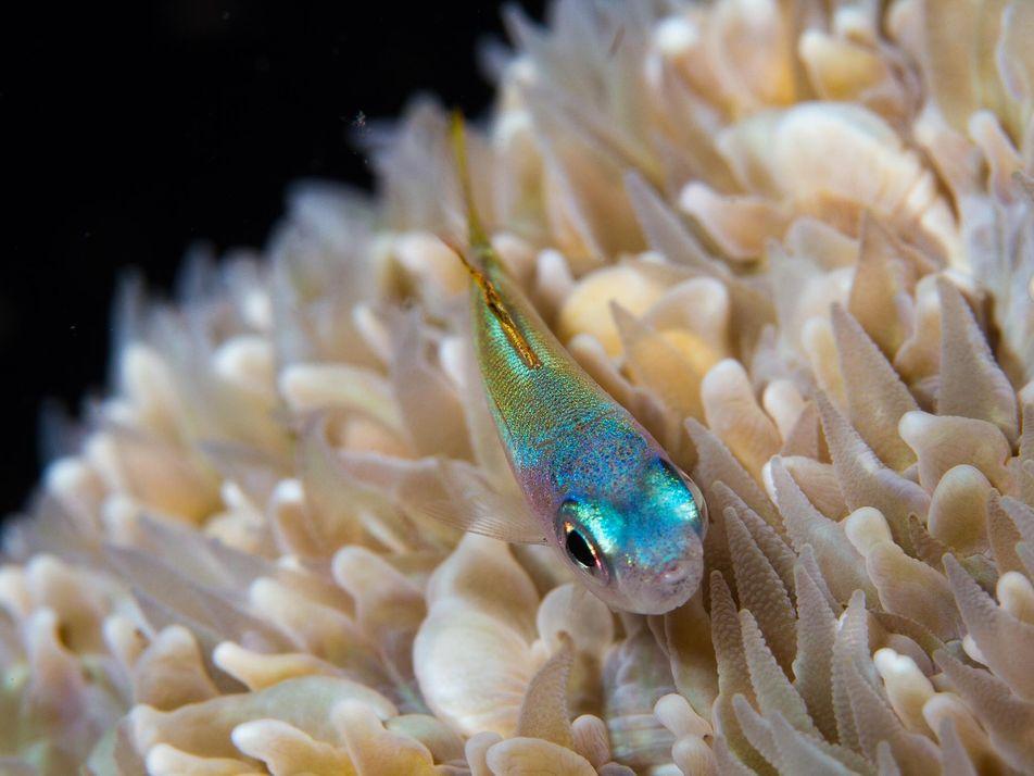 Los arrecifes de coral dependen de muchos peces del tamaño de guisantes