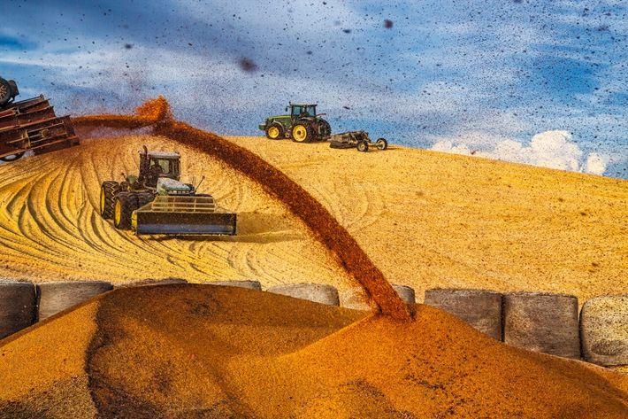 Tractores comprimiendo un montículo de maíz
