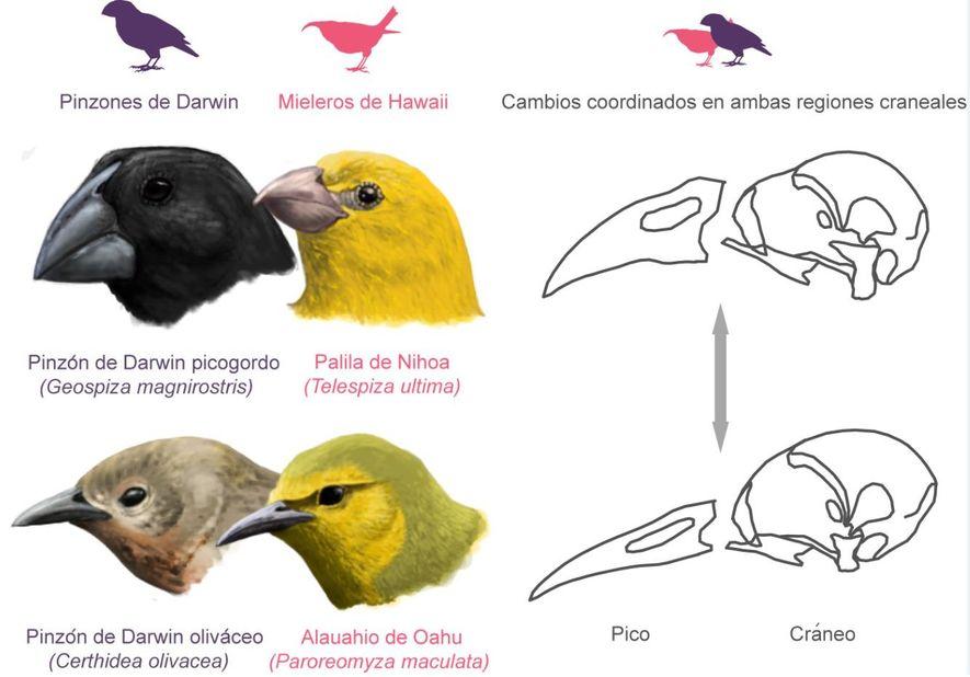 Craneo aves 02