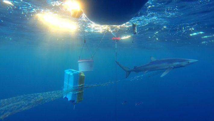 Un tiburón arrastra una red de pesca clavada en su boca.
