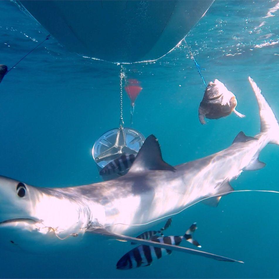El 50% de los tiburones del Mediterráneo viven con anzuelos clavados