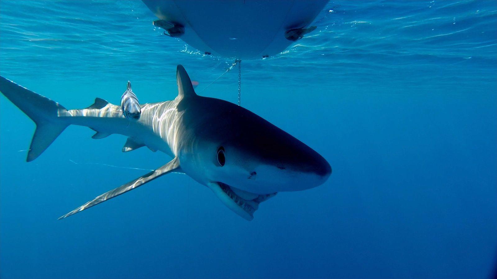 En las imágenes puede observarse incluso a algunos de estos animales con la boca dislocada o ...