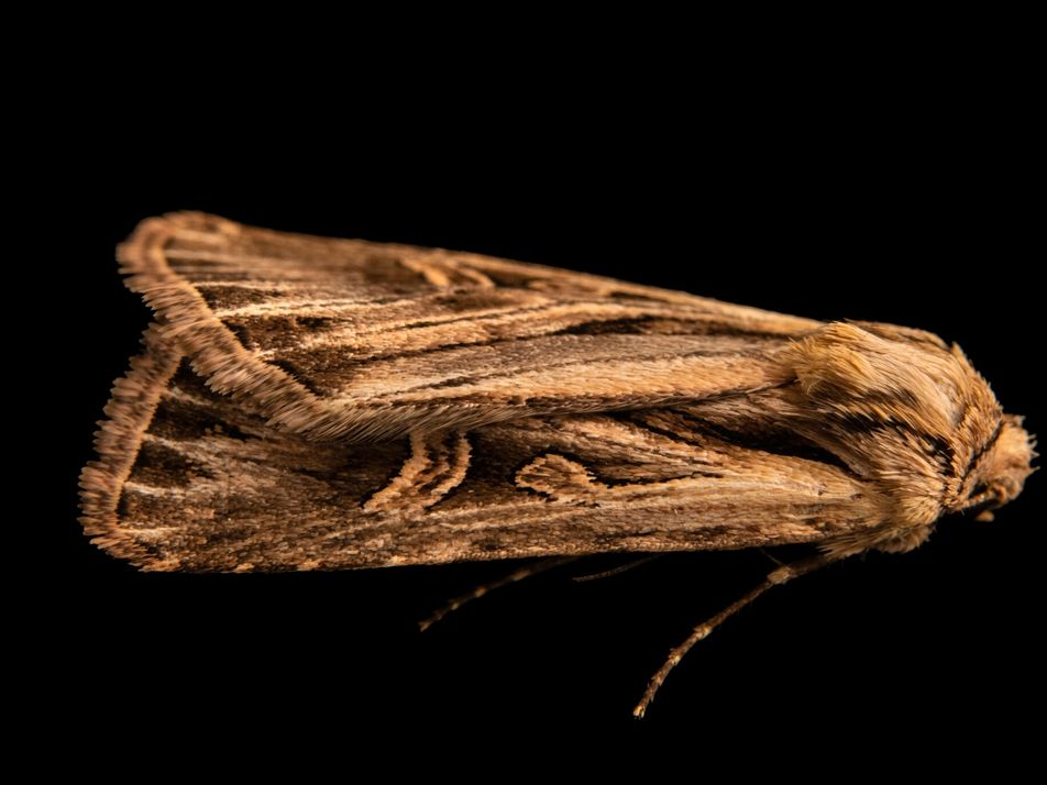Más de 130 años después de su descubrimiento, esta polilla ha sido fotografiada viva