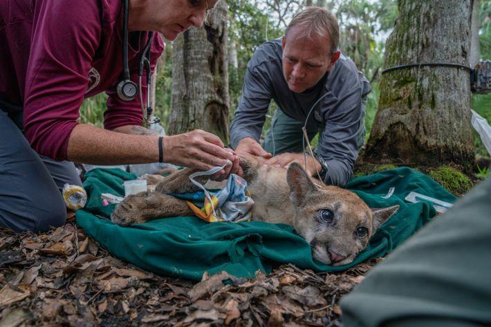 Expertos extraen muestras de sangre a un cachorro de pantera de Florida