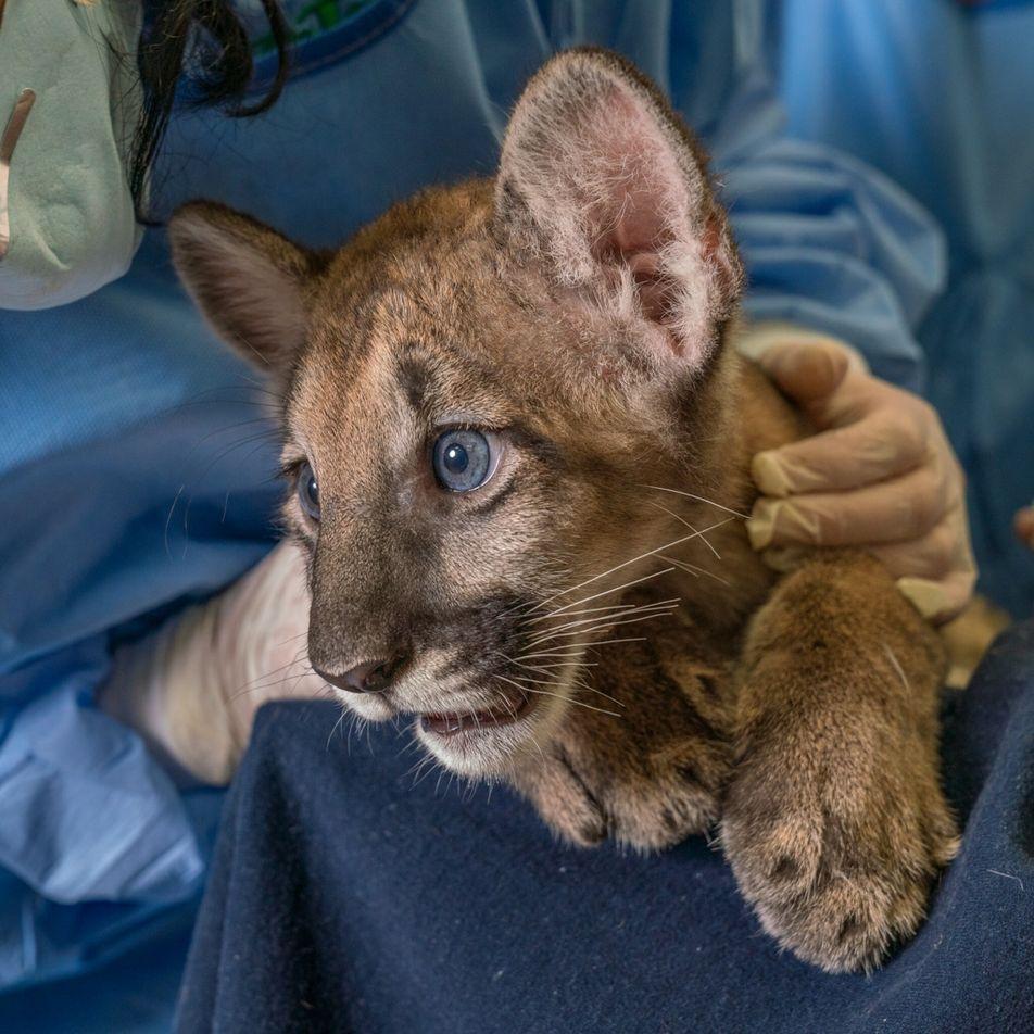Una misteriosa enfermedad neurológica afecta a las panteras de Florida, especie en peligro de extinción