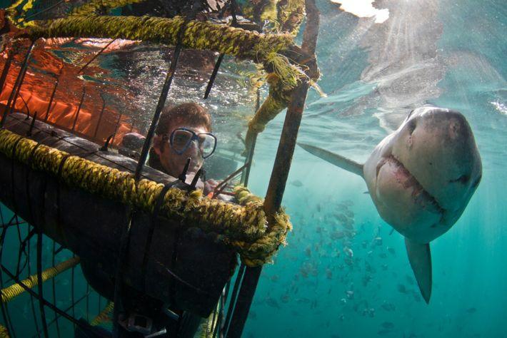 Un tiburón blanco pasa frente a un buceador en una jaula