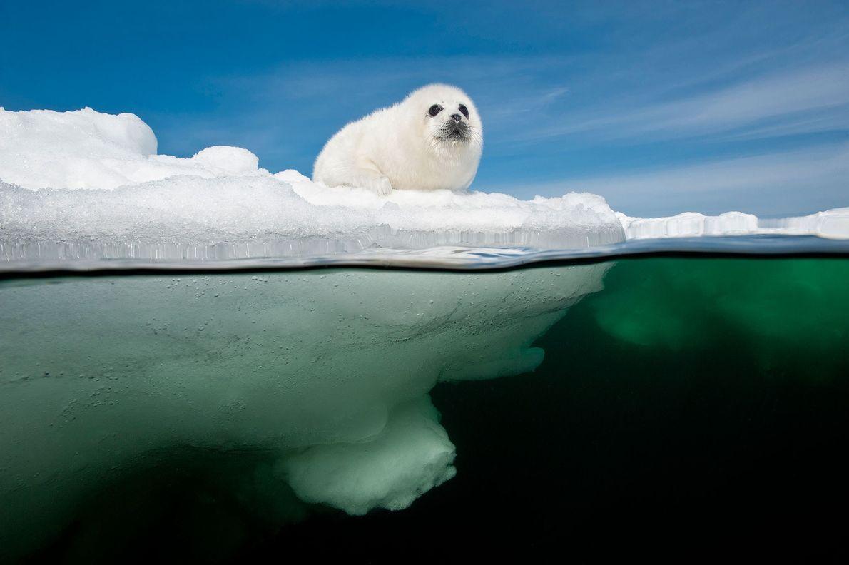 Una cría de foca pía