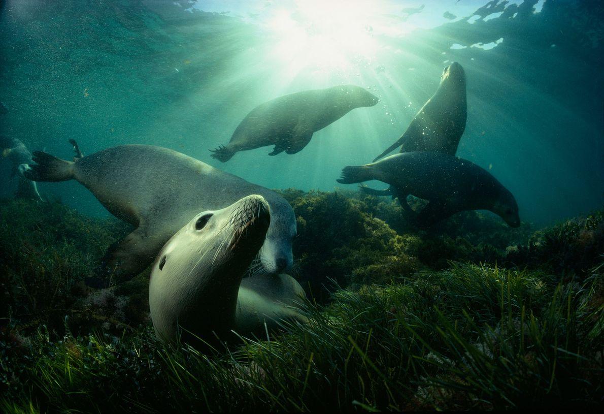 Lobos marinos australianos