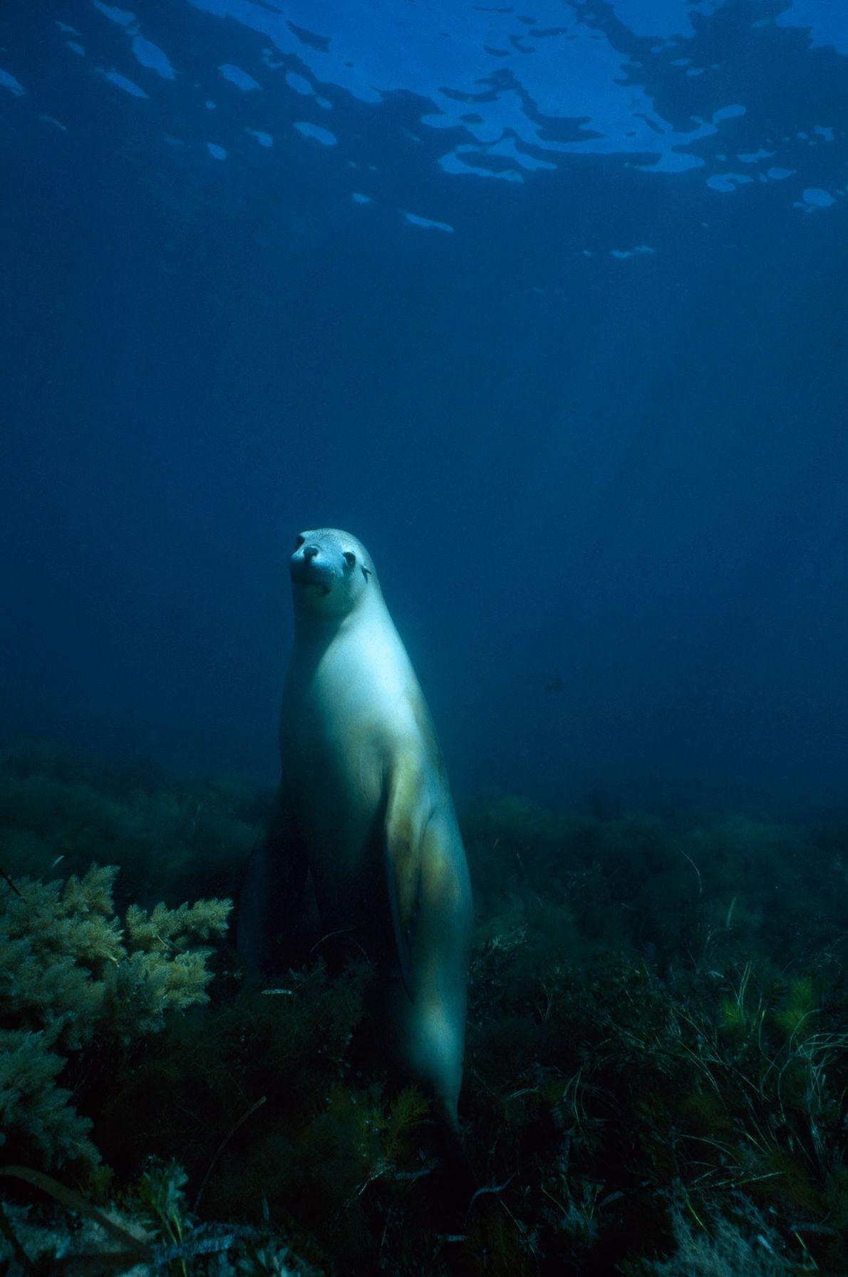 Lobo marino australiano