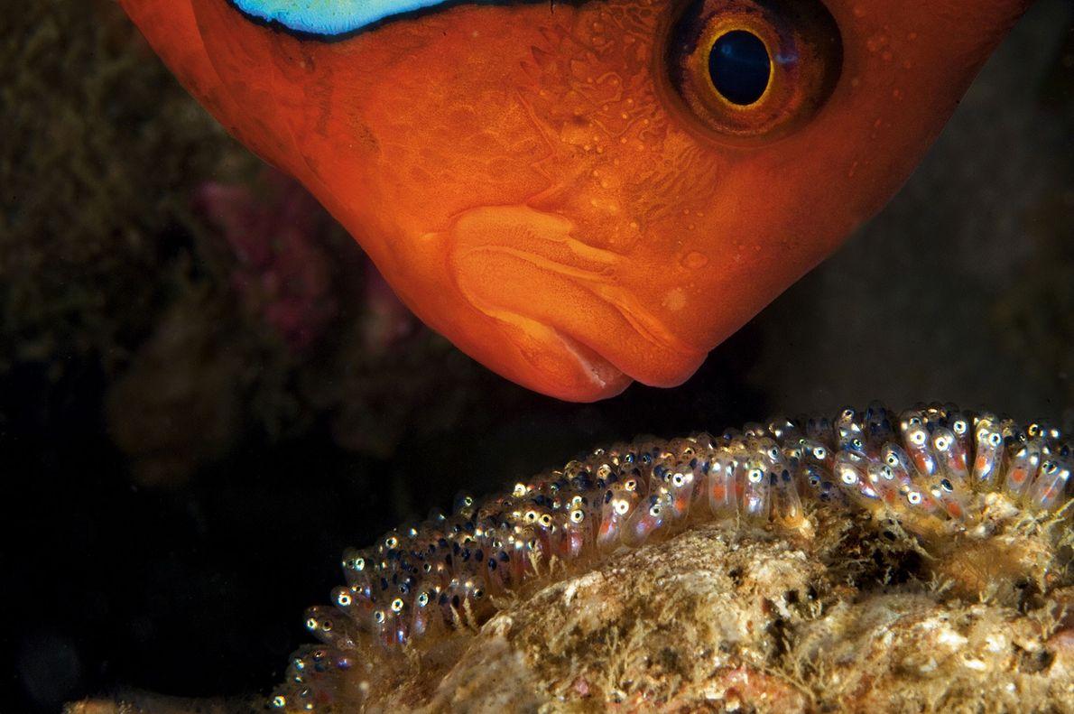 Un pez payaso macho