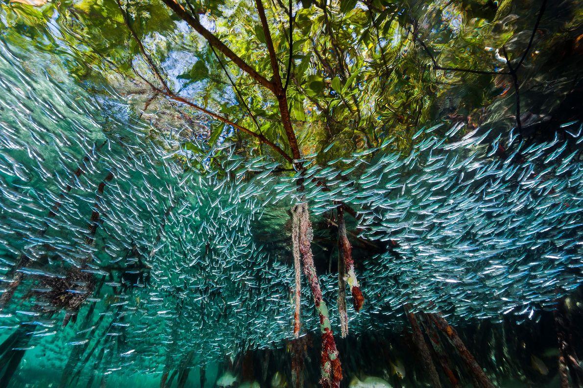 Un banco de sardinas atlánticas