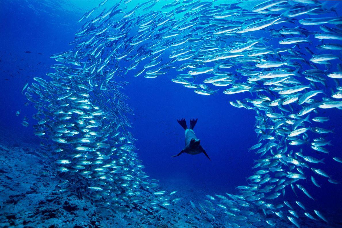 Lobo marino de las Galápagos