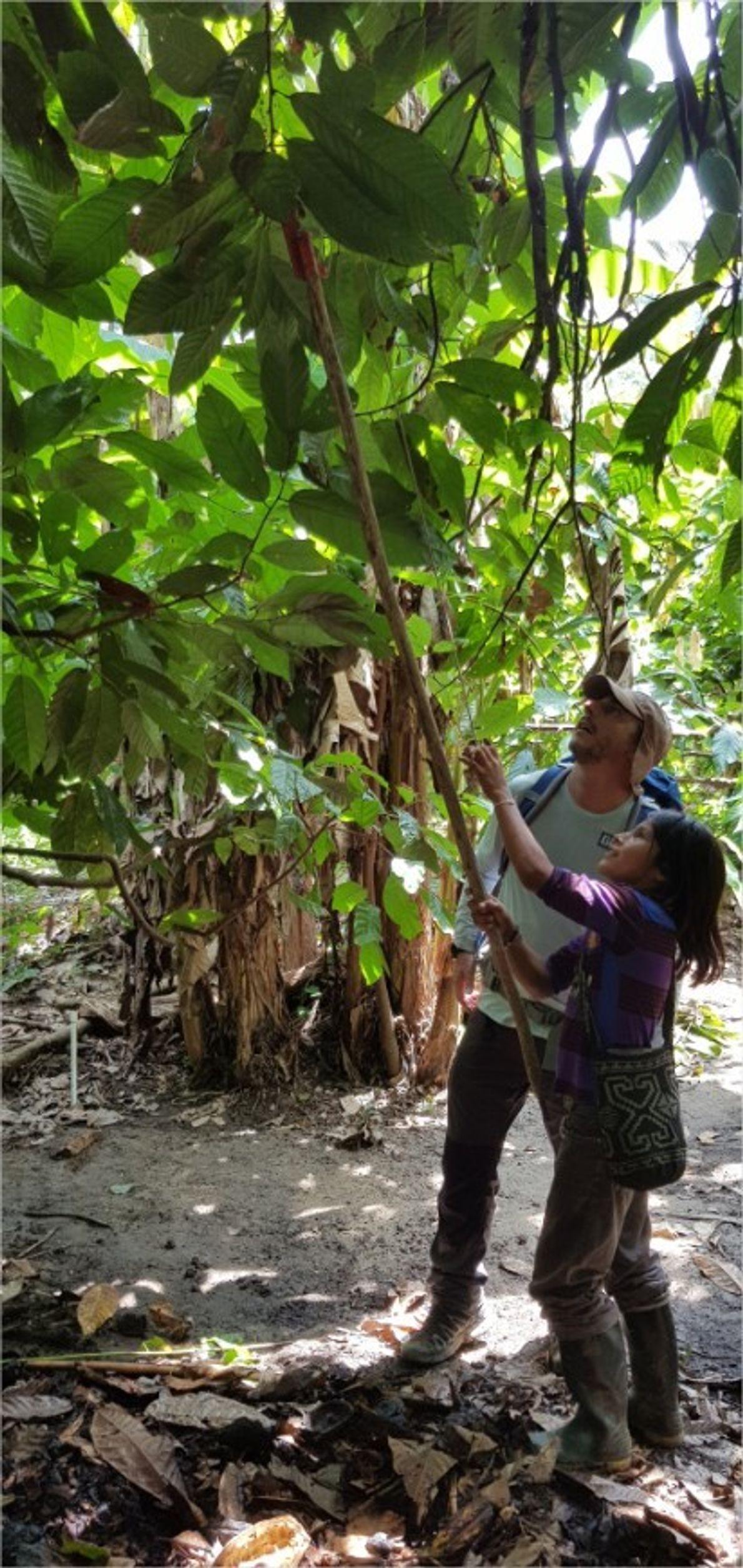 Un niño arhuaco muestra cómo se cosecha el cacao