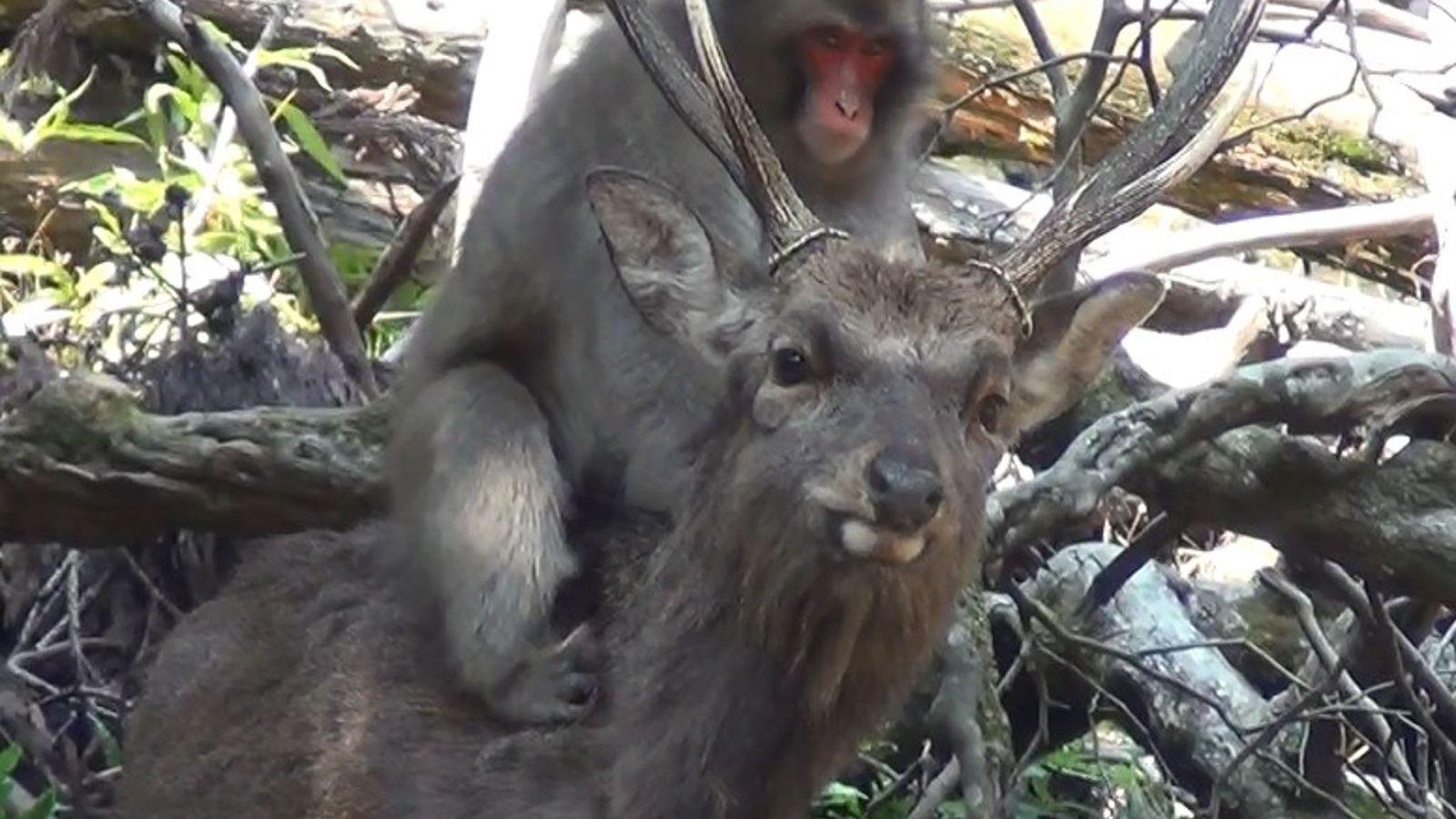 Macaco y ciervo
