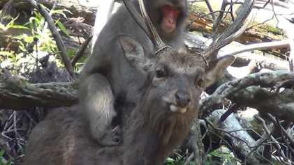 Primeras pruebas cuantitativas de «interacción sexual» entre macacos hembra y ciervos en Japón