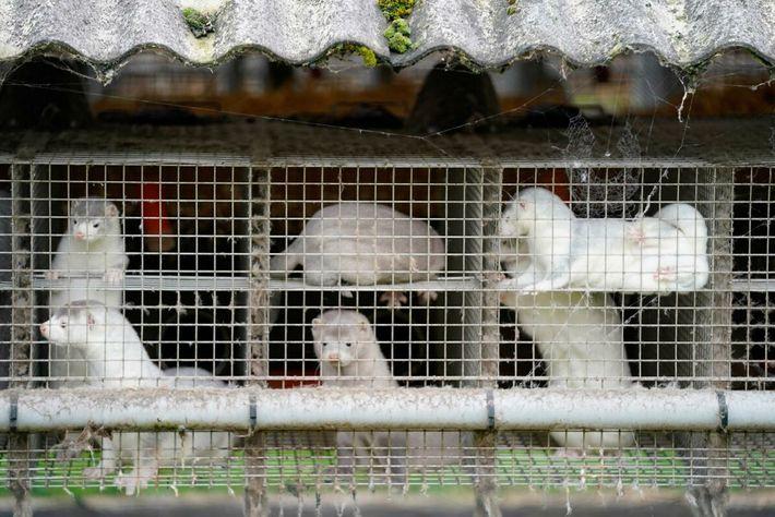 Fotografía de visones en una granja