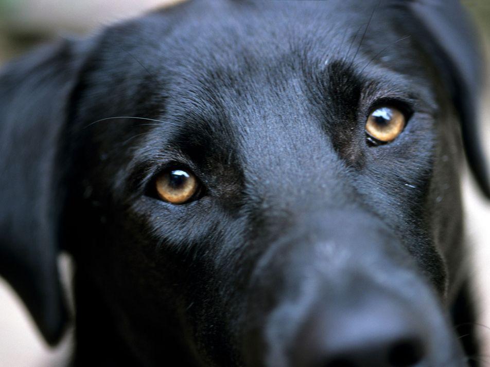 Los perros evolucionaron los «ojos de cachorrito» para comunicarse con nosotros