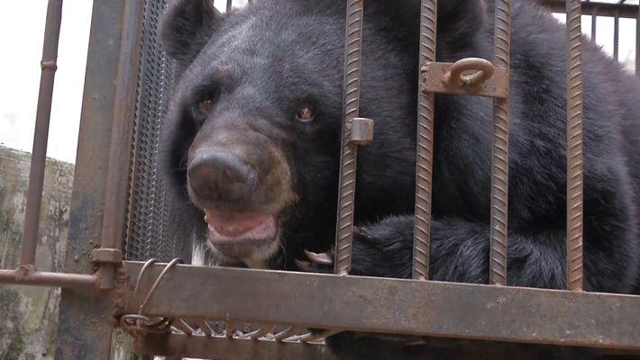"""El """"perro"""" al que criaba esta familia china era en realidad un oso tibetano"""