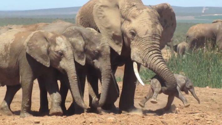 Un elefante macho ataca a una cría recién nacida