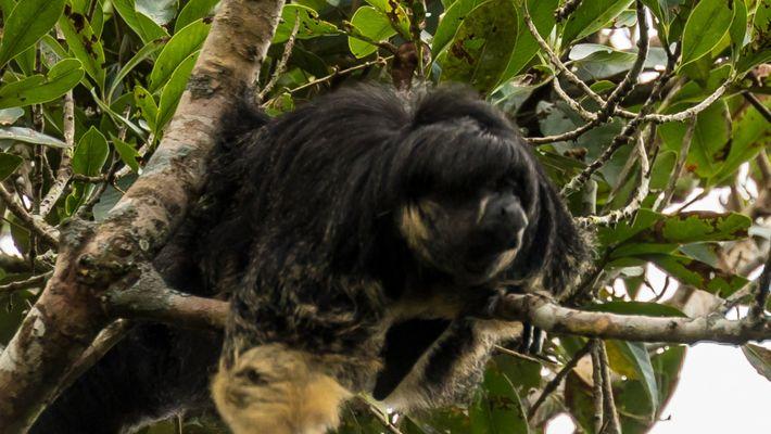 Primeras imágenes en 80 años de un misterioso animal del Amazonas.
