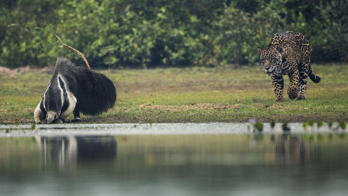 Un oso hormiguero gigante sobrevive a un encuentro con un jaguar