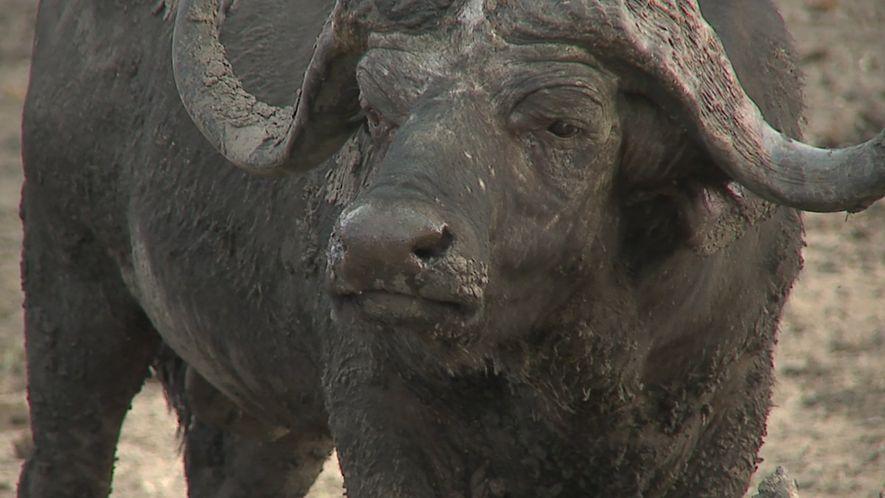 Estos búfalos africanos se protegen los unos a los otros
