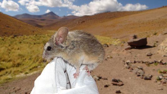 Un roedor descubierto a más de 6700 metros de altitud bate un récord mundial