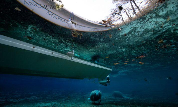 Un manatí nada cerca de la hélice de un barco atracado