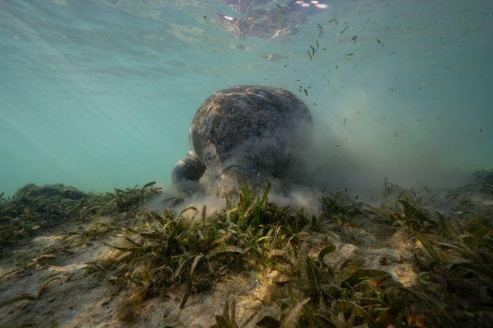 Un manatí come zosterasen Crystal River, Florida