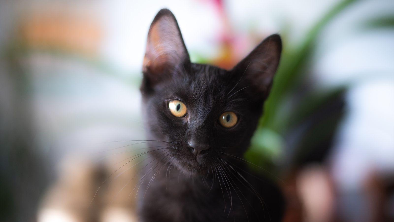 Negrito es el primer caso en España de un gato infectado por SARS-CoV-2, el sexto gato ...