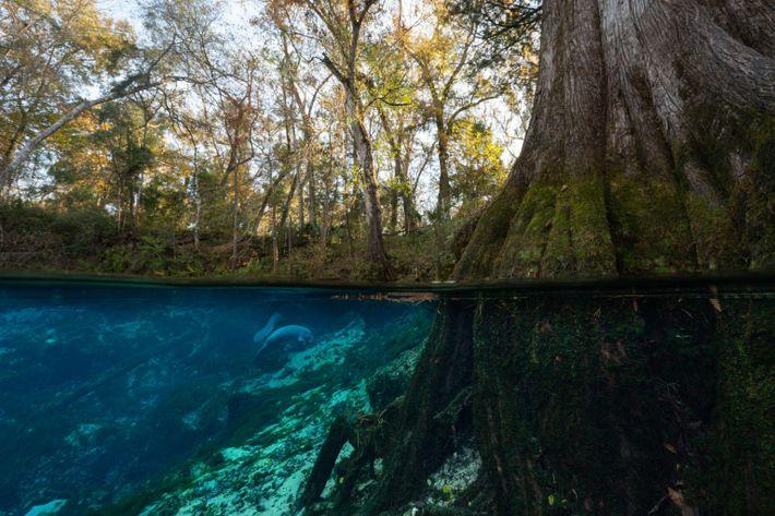 Manatíes de Florida se alimentan en Fanning Springs