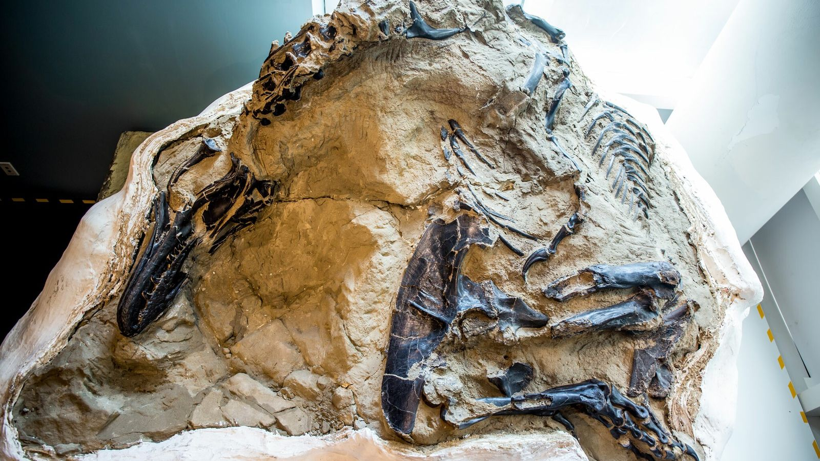 Fósil de un T. rex y un Triceratops
