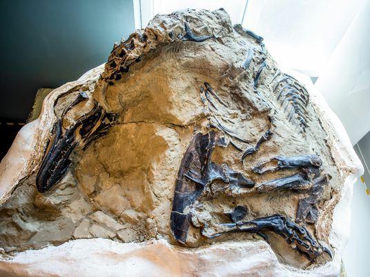 La ciencia por fin podrá revelar los secretos del fósil de los «dinosaurios en duelo»