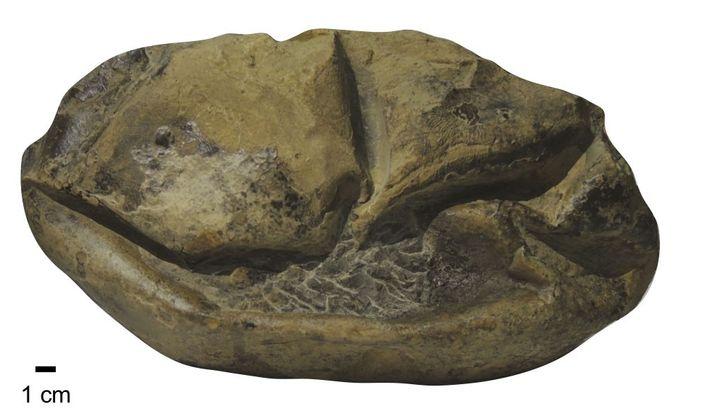 Huevo de Antarcticoolithus bradyi