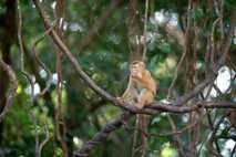 Fotografía de un macaco de cola de cerdo