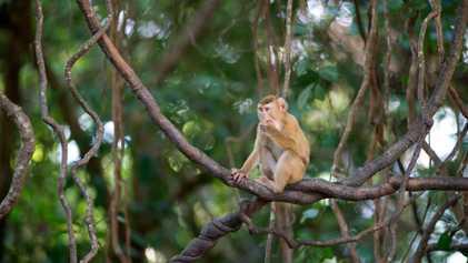 Los monos todavía son utilizados para recolectar cocos en Tailandia, a pesar de la controversia