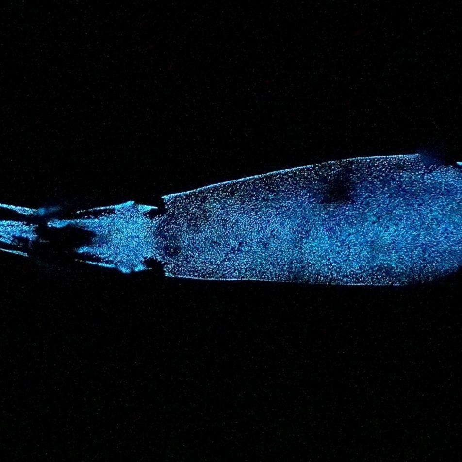 Este tiburón es uno de los animales bioluminiscentes más grandes del mundo