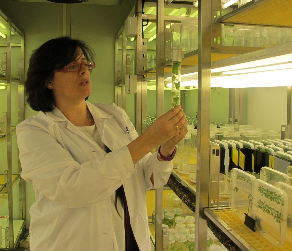 Elena Ramírez Parra (1972) es una bióloga española especializada en el campo de la agronomía, en particular en ...