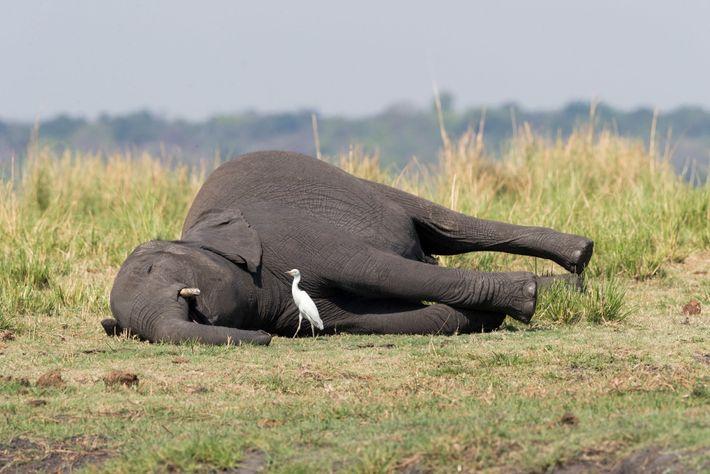 Cadáver de elefante