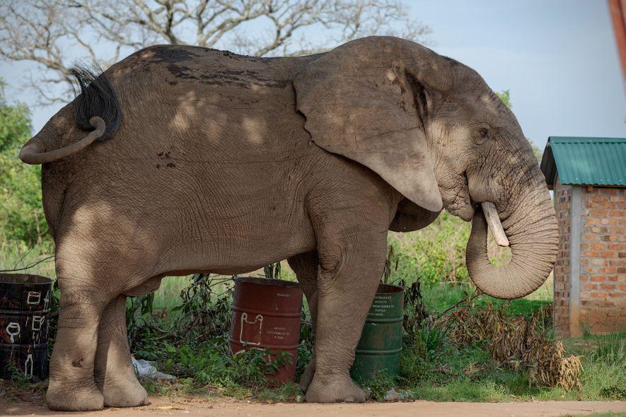 Los elefantes suelen entrar en el cuartel general de Garamba atraídos por los mangos maduros que ...