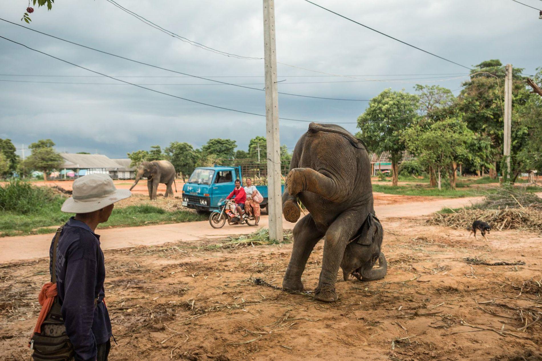 Mahout entrenando a un elefante