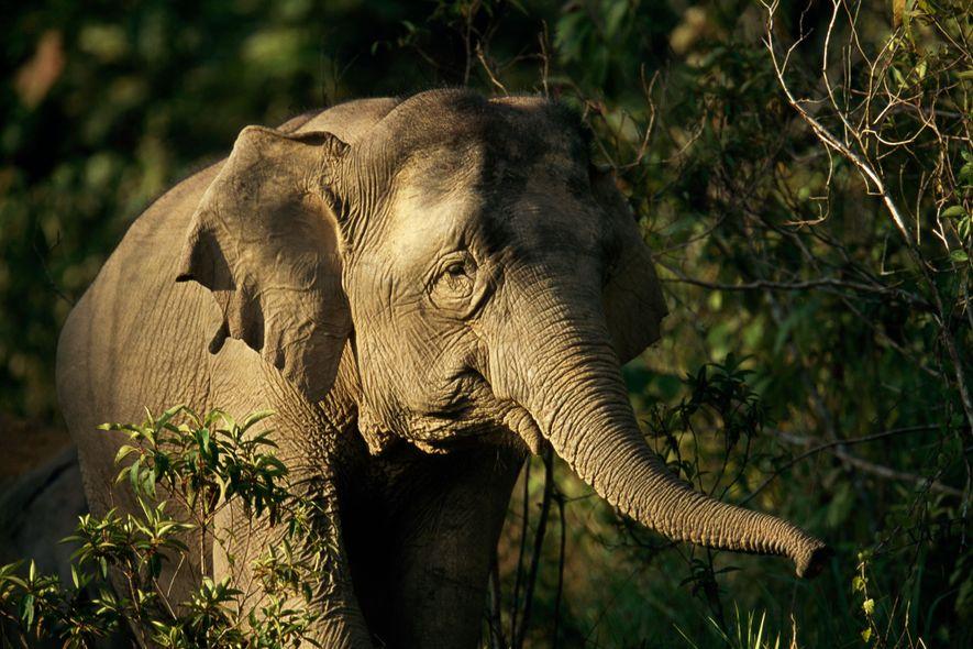 La caza furtiva de pieles de elefante en Birmania alarma a los conservacionistas porque el objetivo no solo son los machos con colmillos, como ocurre en la caza furtiva de marfil, sino también las hembras reproductoras y las crías.