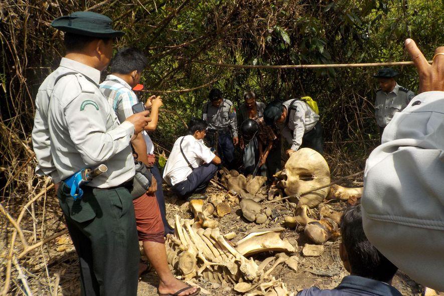 A principios de año, el hedor de la carne podrida llevó a los habitantes de una aldea cercana a un lecho fluvial en el suroeste de Birmania. Allí descubrieron los cadáveres en descomposición de 25 elefantes despellejados, junto a huesos y un almacén de pieles secándose.