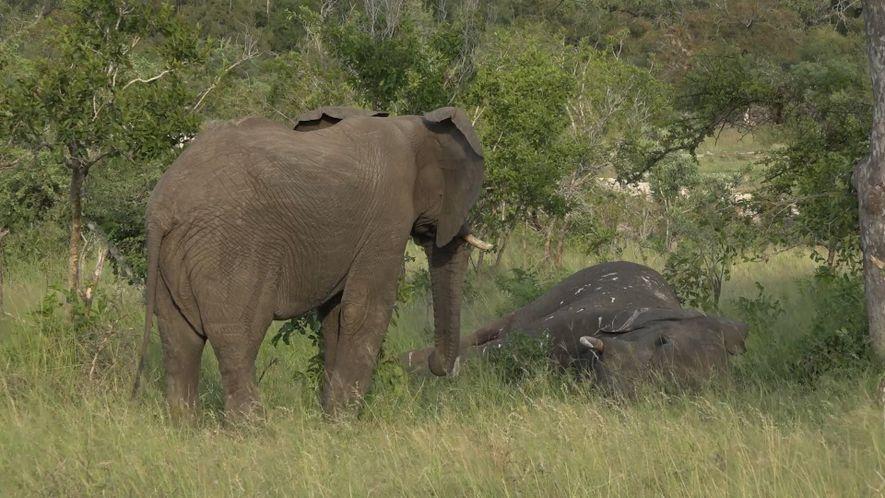 Un nuevo vídeo sugiere que los elefantes lloran a sus muertos