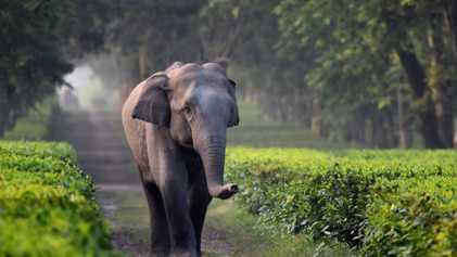 Los elefantes se caen en las zanjas de las plantaciones de té indias