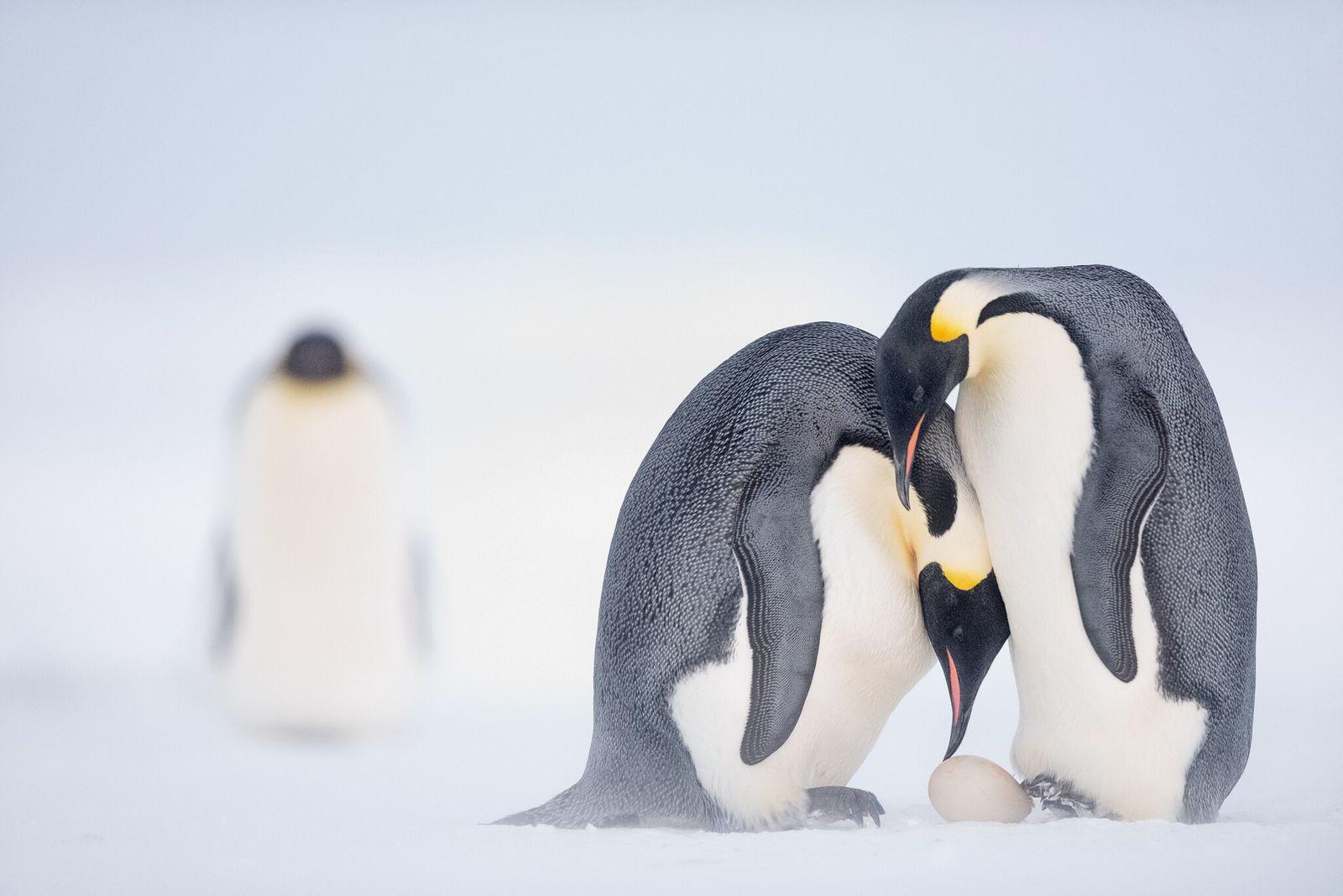 Fotografía de pingüinos emperadores transfiriendo el huevo