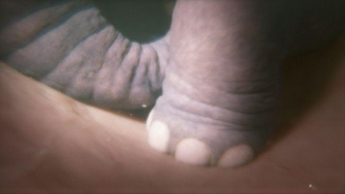 El pie de un feto de elefante en una simulación creada para 'Crecer como animal', de ...