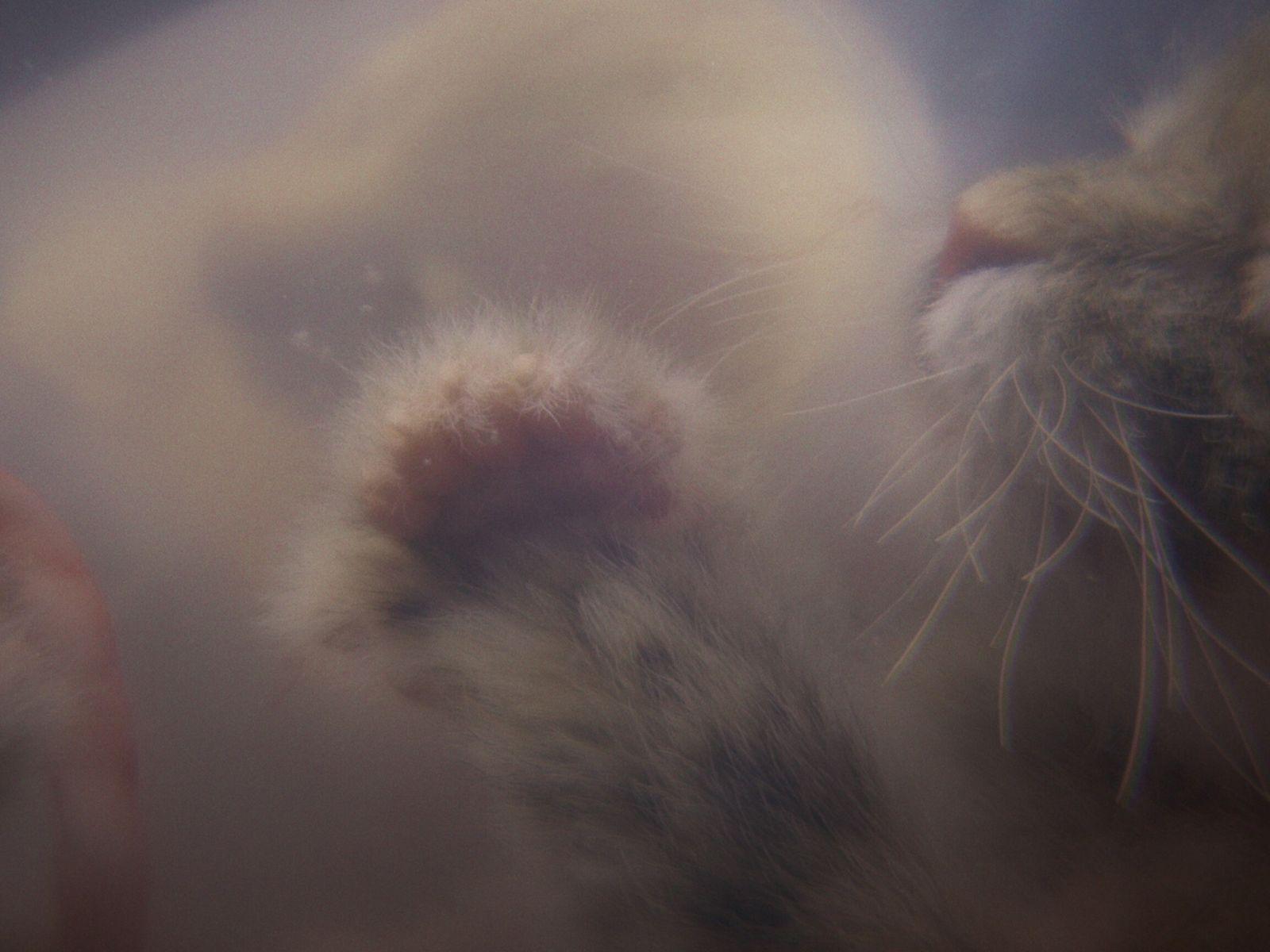 Imagen simulada de un gato nonato creada por el programa de National Geographic 'Crecer como animal' ...