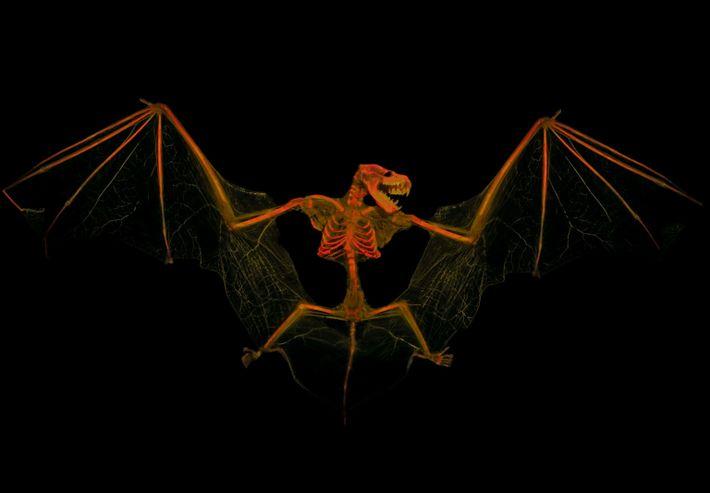 Esqueleto de un murciélago moreno