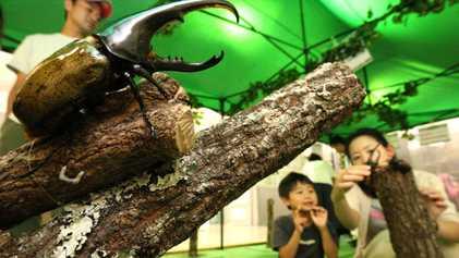 El contrabando de escarabajos a Japón alcanza una velocidad alarmante